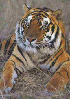 Y Tiger Is Our National Animal The Bengal Tiger